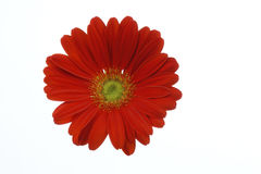 在白色背景隔绝的美丽的红色雏菊大丁草花 免版税库存图片