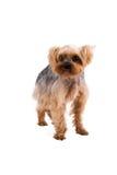 在白色背景隔绝的美丽的年轻约克夏狗 库存照片