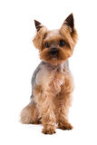在白色背景隔绝的美丽的年轻约克夏狗 免版税库存图片