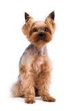 在白色背景隔绝的美丽的年轻约克夏狗 免版税图库摄影