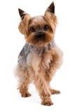 在白色背景隔绝的美丽的年轻约克夏狗 免版税库存照片