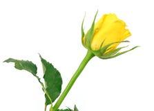 在白色背景隔绝的美丽的黄色玫瑰 库存照片
