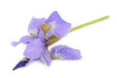 在白色背景隔绝的美丽的紫色虹膜花 库存图片