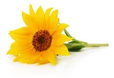 在白色背景隔绝的美味的向日葵 免版税图库摄影