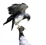 在白色背景隔绝的老鹰栖息 图库摄影