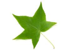 在白色背景隔绝的胶皮糖香树styraciflua绿色叶子 库存照片