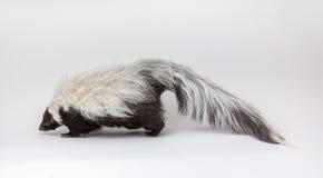 在白色背景隔绝的臭鼬 免版税库存照片