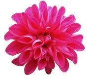 在白色背景隔绝的花桃红色大丽花 特写镜头 免版税库存照片