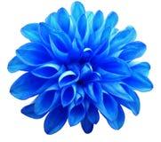 在白色背景隔绝的花蓝色大丽花 免版税库存图片