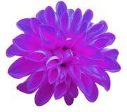 在白色背景隔绝的花紫罗兰色大丽花 库存照片