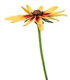 在白色背景隔绝的花黄金菊 免版税库存图片