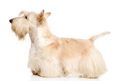 在白色背景隔绝的苏格兰狗 免版税库存图片