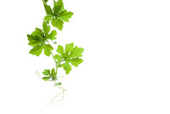 在白色背景隔绝的苦涩瓜的叶子 免版税库存照片