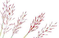 在白色背景隔绝的草芦苇 免版税库存照片