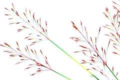 在白色背景隔绝的草芦苇 库存图片