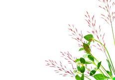 在白色背景隔绝的草芦苇 免版税库存图片