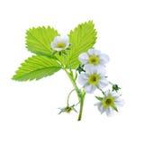 在白色背景隔绝的草莓植物 免版税库存图片