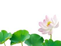 在白色背景隔绝的莲花叶子 在pon的莲花叶子 免版税库存图片
