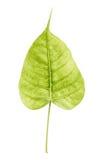 在白色背景隔绝的菩提树叶子,榕属religiosa, 免版税库存图片