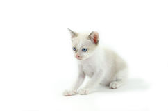 在白色背景隔绝的蓝眼睛的猫画象 免版税库存图片