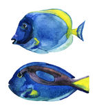 在白色背景隔绝的蓝色特性鱼 免版税库存照片