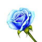 在白色背景隔绝的蓝色罗斯花 免版税库存图片