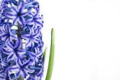 在白色背景隔绝的蓝色风信花花 库存照片