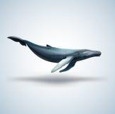 在白色背景隔绝的蓝鲸 免版税库存照片