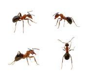 在白色的蚂蚁 库存照片