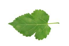 在白色背景隔绝的被加锯齿的绿色叶子 免版税库存图片