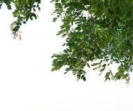 在白色背景隔绝的豪华的树前景  库存图片