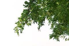在白色背景隔绝的豪华的树前景  库存照片