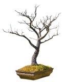 在白色背景隔绝的赤土陶器罐的一棵老盆景树 库存图片
