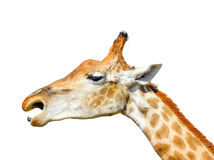在白色背景隔绝的逗人喜爱的长颈鹿头 被隔绝的滑稽的长颈鹿头 免版税库存照片