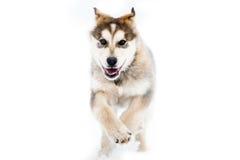 在白色背景隔绝的阿拉斯加的爱斯基摩狗赛跑 免版税库存图片