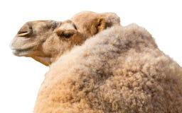 在白色背景隔绝的骆驼 图库摄影