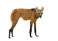 鬃狼 免版税库存照片