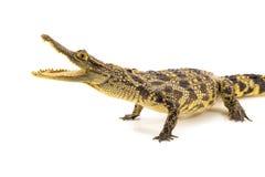 在白色背景隔绝的鳄鱼开放嘴 免版税库存照片