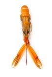 在白色背景隔绝的龙虾 免版税库存图片