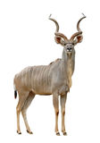 Kudu 库存照片