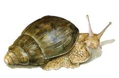 在白色背景隔绝的水彩蜗牛 库存照片