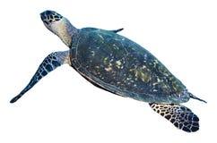 在白色背景隔绝的绿浪乌龟 库存照片
