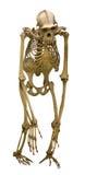 在白色隔绝的黑猩猩骨骼 库存图片