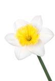 在白色背景隔绝的水仙白色春天花 图库摄影