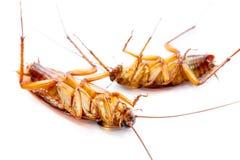 在白色背景隔绝的死的蟑螂 库存图片