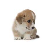 在白色背景隔绝的滑稽的威尔士小狗彭布罗克角小狗 免版税库存图片