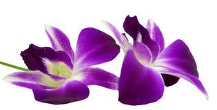 在白色背景隔绝的紫罗兰色兰花 库存照片