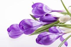 在白色背景隔绝的紫罗兰色番红花有些花 库存照片