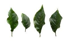在白色背景隔绝的绿色丁香(寻常的紫丁香属植物)叶子 库存照片