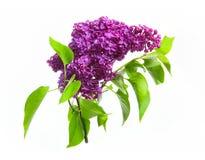 在白色背景隔绝的紫色丁香 免版税库存照片
